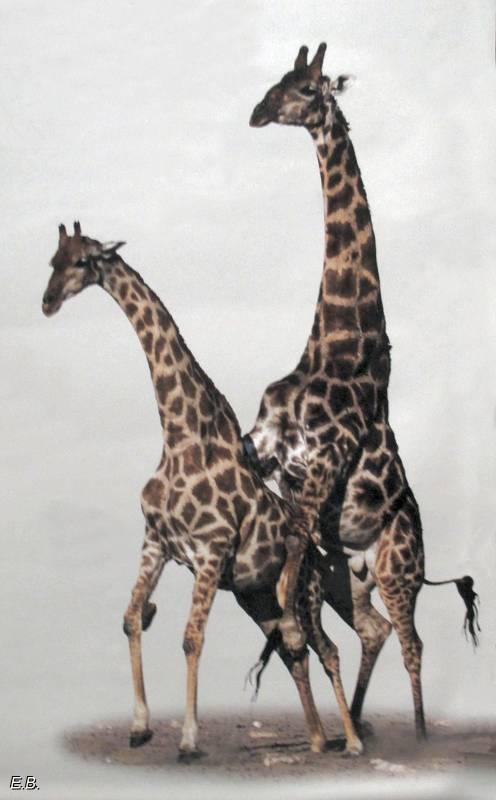 Girafes_expo_bte_de_sexe.jpg