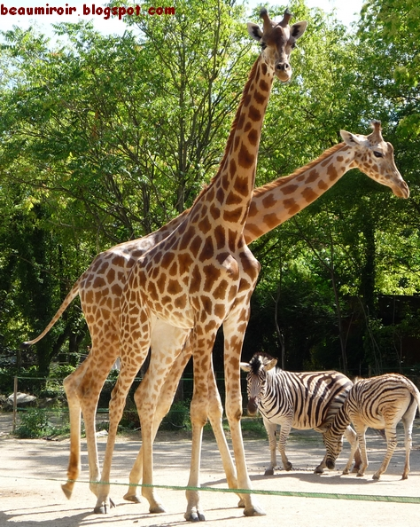 girafe-2-tetes.jpg