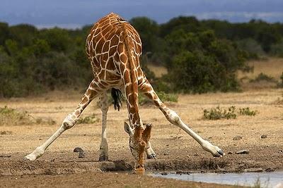girafe-qui-boit-de-l-eau.jpg